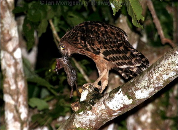 Digital image photo of buffy fish owl 3 of 4 by ian for Do owls eat fish
