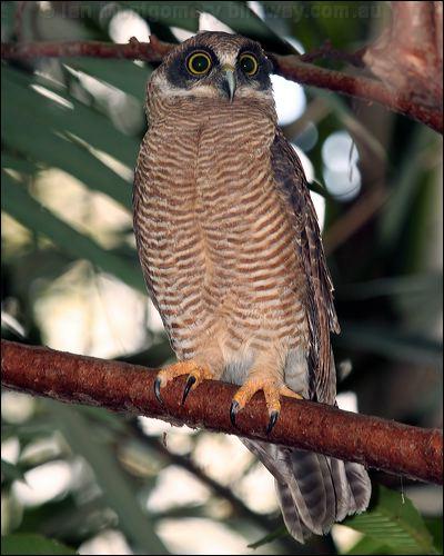 Rufous owl - photo#26