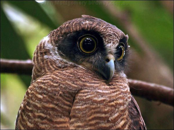 Rufous owl - photo#16