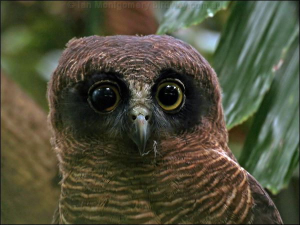 Rufous owl - photo#21