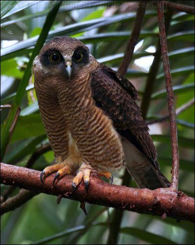 Rufous owl - photo#22