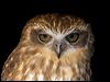 Click here to enter gallery and see photos of: Spectacled, Snowy, Little, Burrowing, Powerful, Rufous and Barking Owl; Spotted Eagle-Owl; Buffy Fish-Owl; Brown Wood-Owl; Eurasian, Pacific/Peruvian Pygmy-Owl; Brown and Christmas Island Hawk-Owl; Spotted Owlet; Southern Boobook