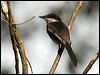 Click here to enter gallery and see photos of: Bar-winged Flycatcher Shrike