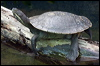 Click here to enter gallery and see photos of: Green, Cann's Long-necked, Macquarie, Saw-shelled & Snake-necked Turtles