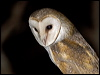 Click here to enter Barn Owl photo gallery