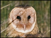 Click here to enter Eastern Grass Owl photo gallery