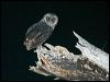 Click here to enter Greater Sooty Owl photo gallery