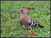 Click here to enter gallery and see photos of: Eurasian Hoopoe
