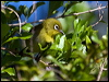 Click here to enter Green-backed White-eye photo gallery